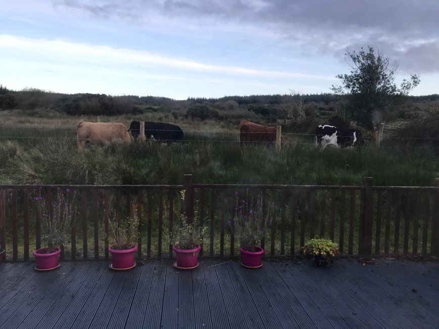 Cows Out Back